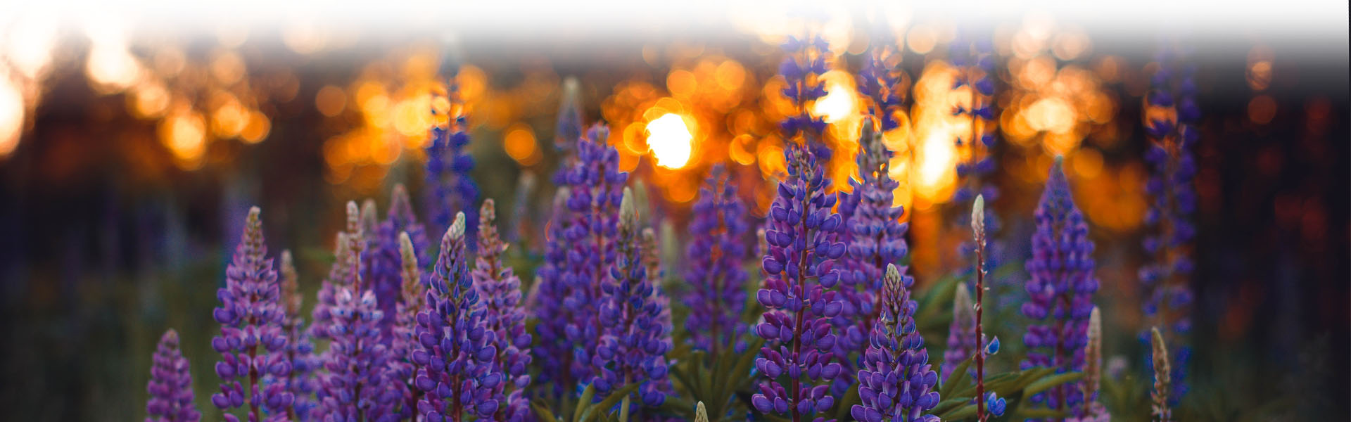 Lilac Flowers at sunset