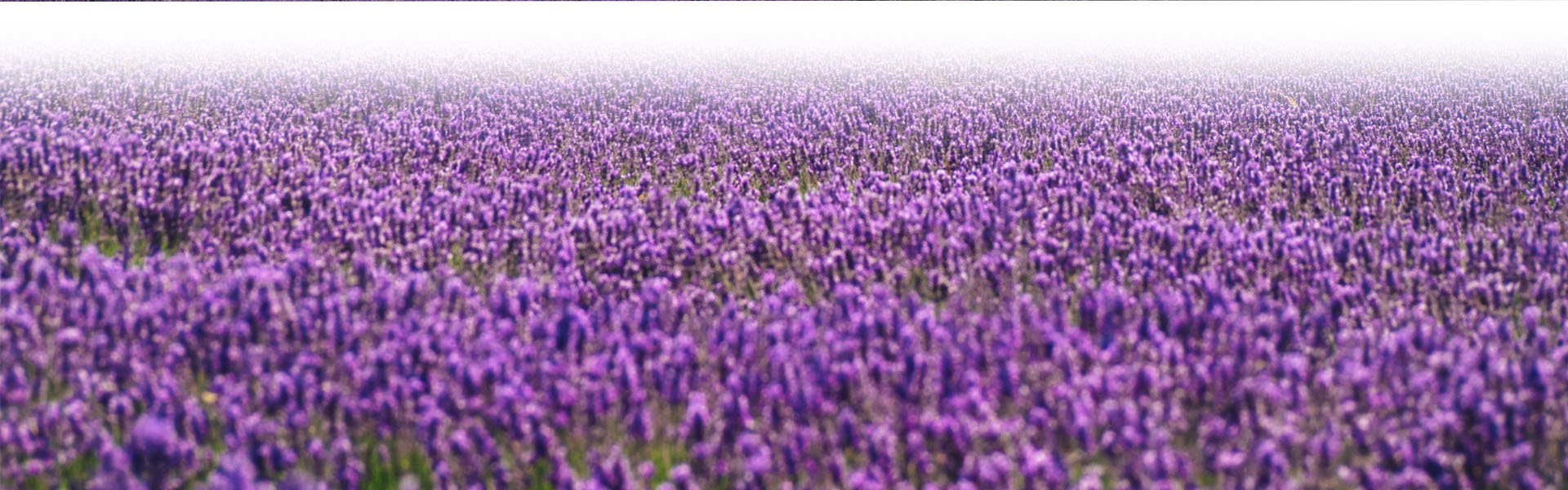 field of Lilac Flowers
